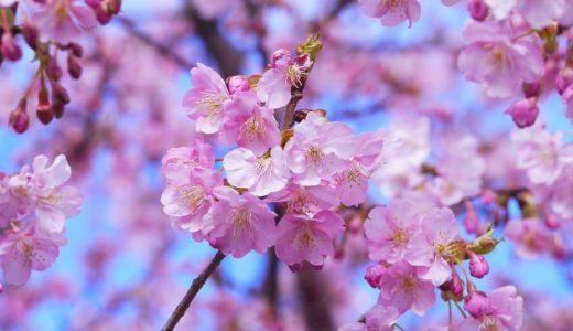 三浦海岸河津桜2021の開花状況!駐車場やアクセスと撮影スポットも!