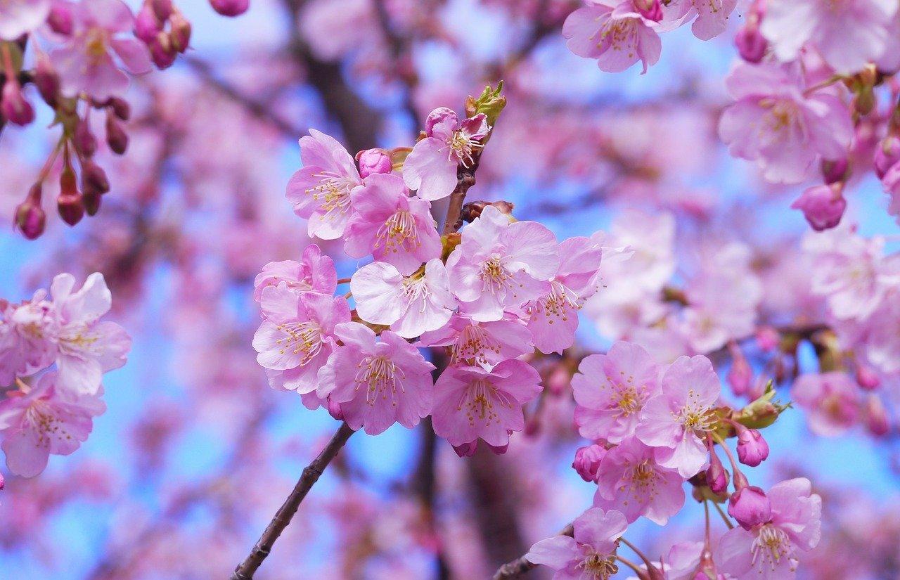 桜 三浦 河津
